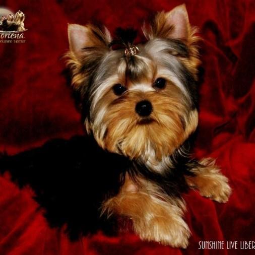 Sunshine-Live-Liberi-Gaias7 Cachorros