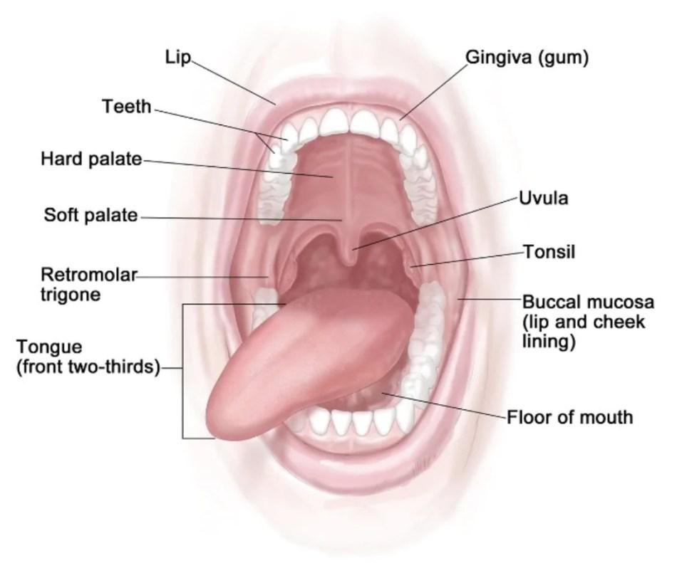 Famoso Anatomía Boca Humana Friso - Anatomía de Las Imágenesdel ...