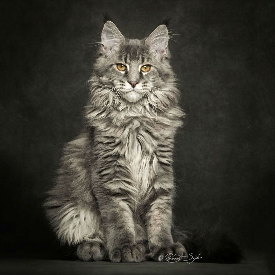 Popsicle Girl Wallpaper Robert Sijka Captures The Fierce Beauty Of Maine Coons Cats