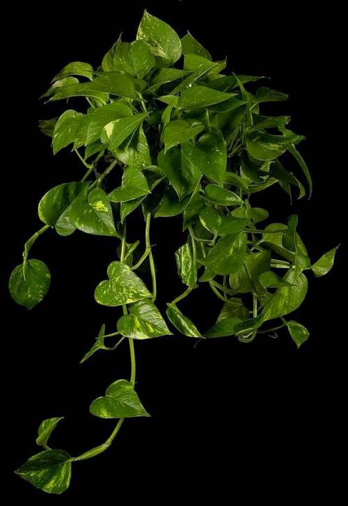 Baños Quimicos Elegantes:Una excelente planta para colgar, el philodendron absorbe los