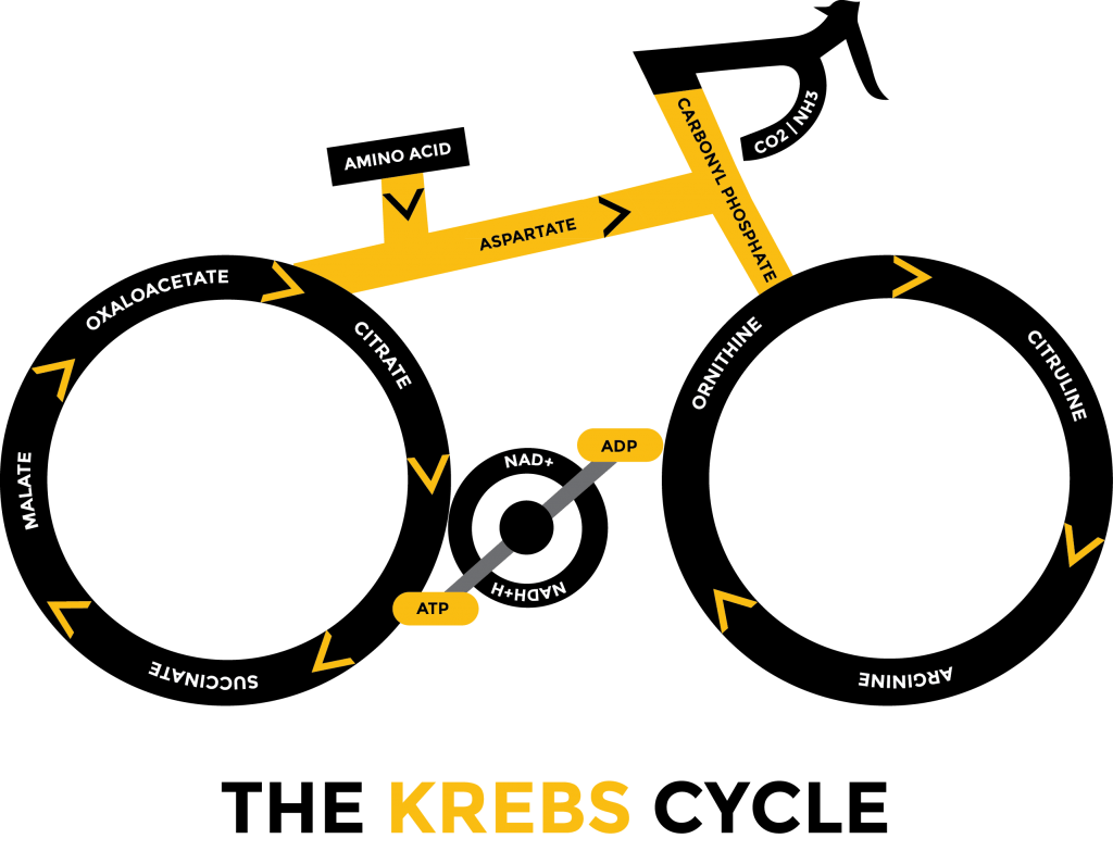 explain krebs cycle with diagram wiring for trailer plug brakes kill cancer oxygen and ketogenic diet health