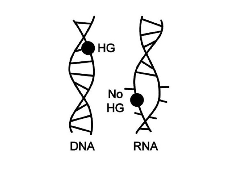 DNA and not RNA is the main repository of genetic