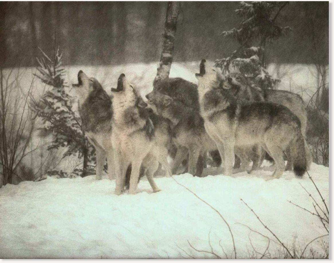Wolf Quotes Wallpaper Yakutia Russians Hunt Down Rumoured 400 Strong Wolf Pack