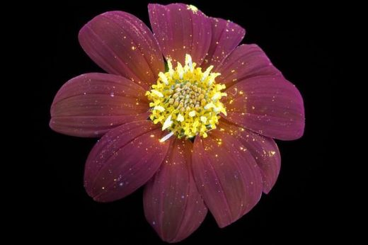 Mexican sunflower uv