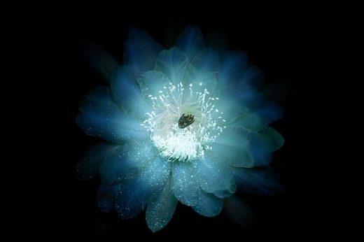 Organpipe cactus flower