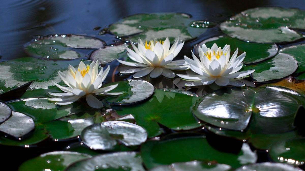 Wiegandscher Lotus - Soulfit