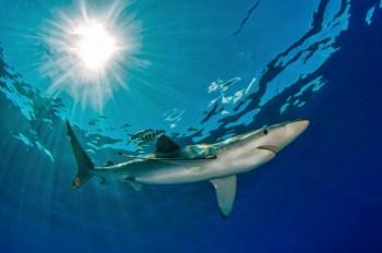 Filippo Borghi, Blue Shark