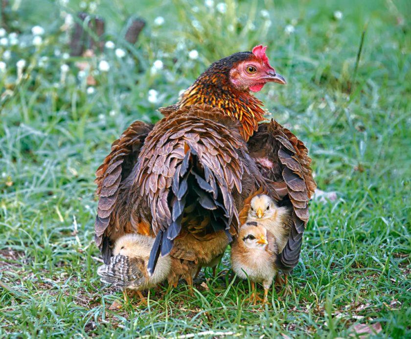 Hen sheltering her chicks