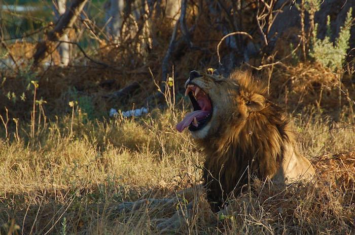 Savuti leone Botswana