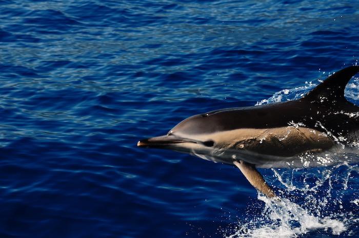 delfino tursiope Azzorre