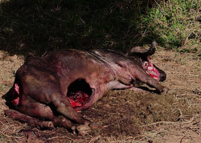 la morte del bufalo