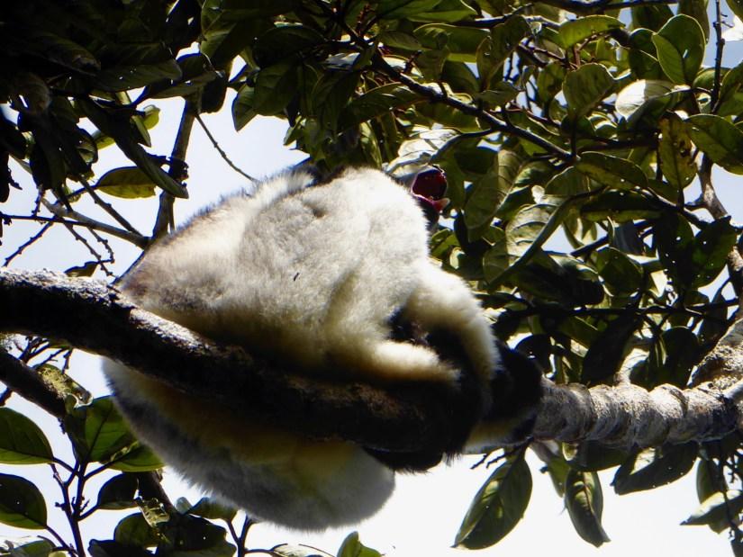 lemure indri indri urlatore