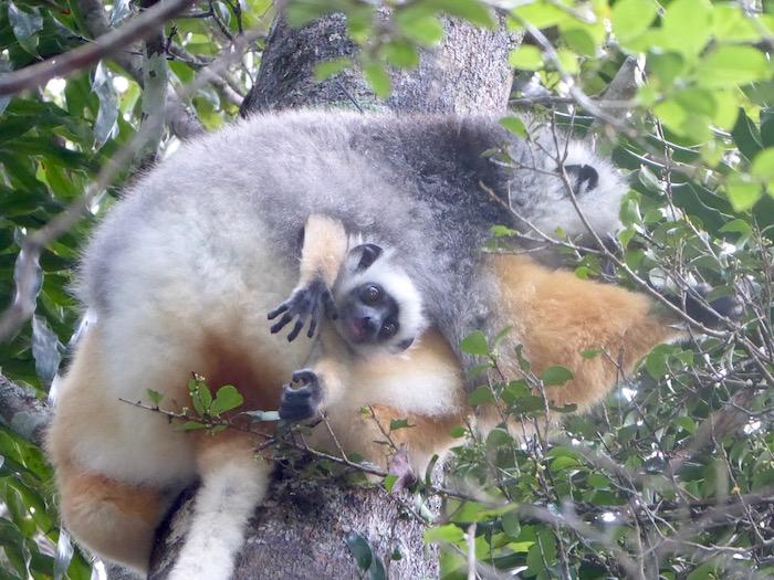 Lemure sifaka coronato Madagascar