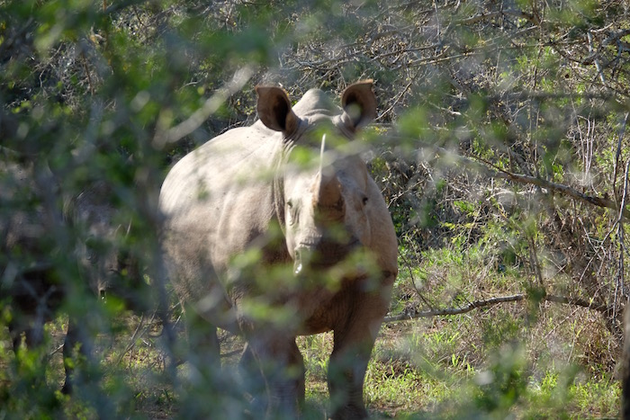 Hluluwe Imfolozi Park rinoceronte bianco