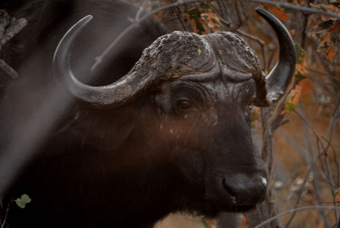 Okavango Delta bufalo