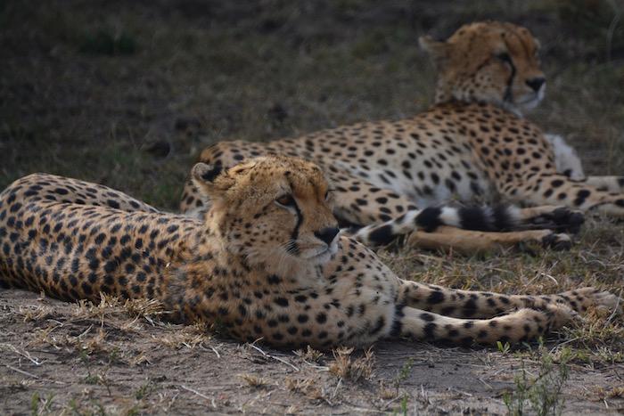 Cinque ghepardi a caccia