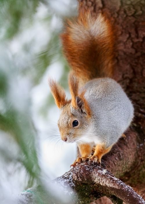 Cute Animated Wallpapers Hd Red And White Piebald Squirrel Fit For Fun