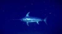 VIDEO: The Lonely Life Of A Swordfish - Soundings Online