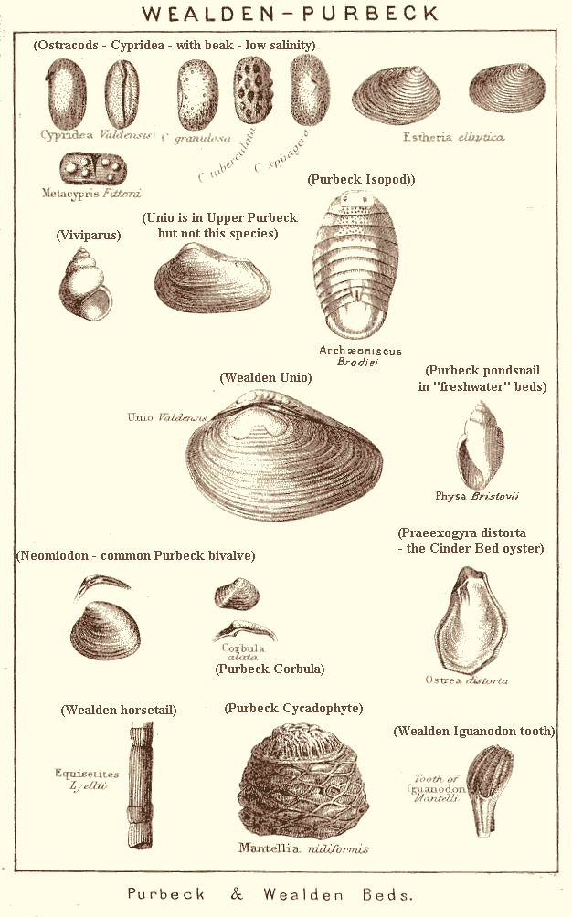 Diagram Of Eating Strata And Fossils Of The Lulworth Cove Area