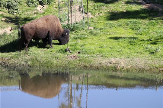 One of Catalina Island's Wild Bison
