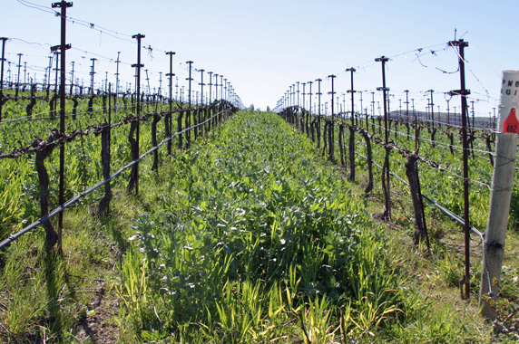 Cover crop is the name given to vegetation that is grown between the vines.