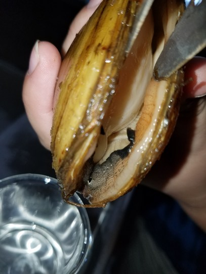 Opening a mussel in order to extract viable glochidia from the gills.