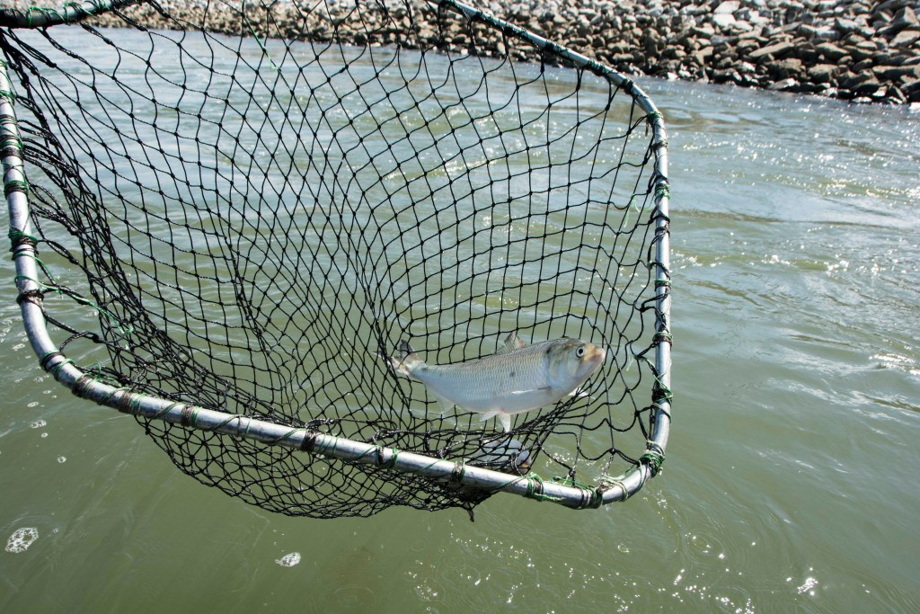 An American Shad in an electro-fishing net.