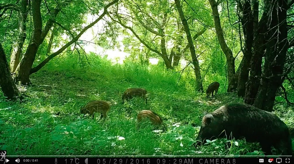 Trail cam capture of a group of boars feeding in a wooded area.