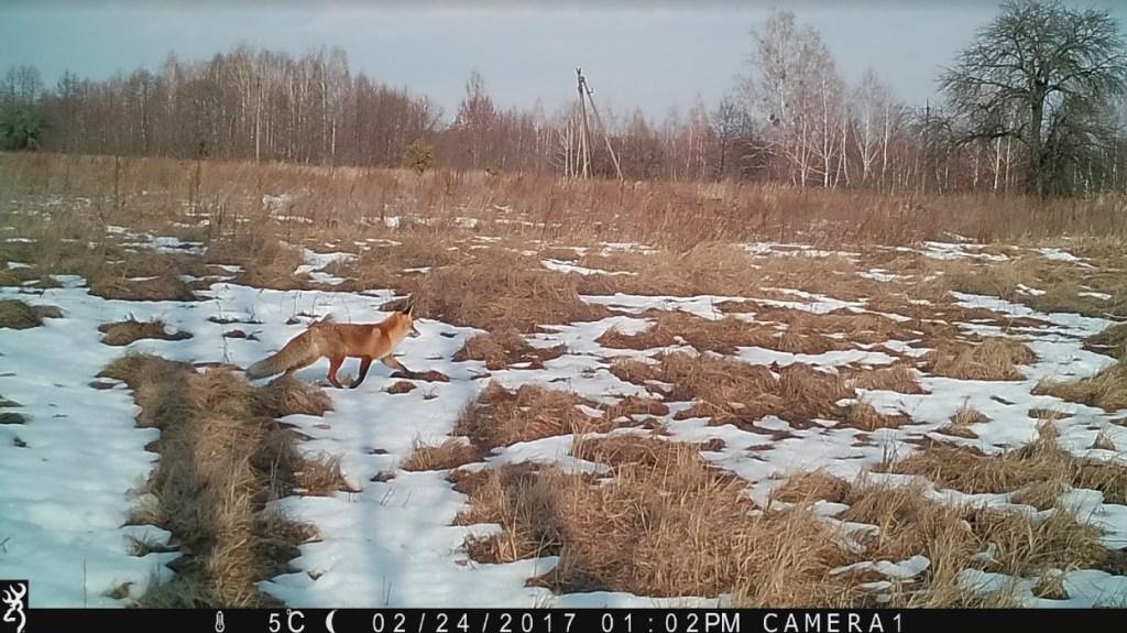Fox caught on trail cam walking across a snowy plain.
