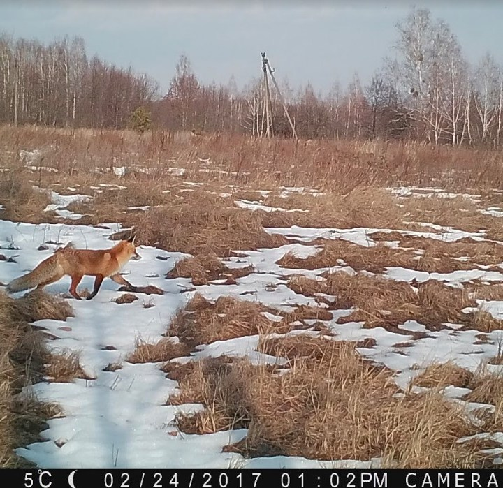 Fox caught on trail cam walking across a snowy plain.