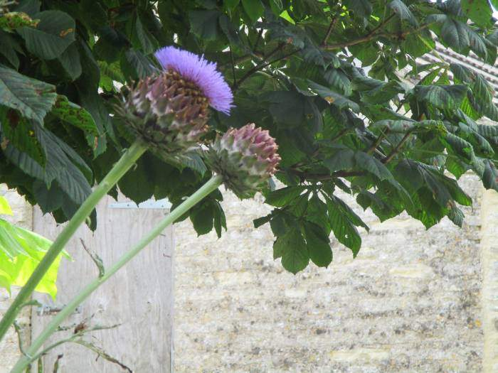 We discuss whether this is a thistle or an artichoke
