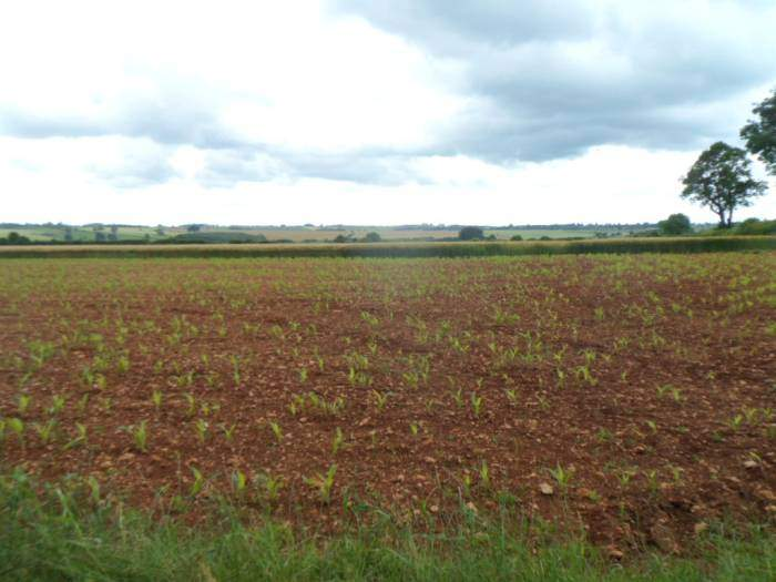 We emerge from the woods to a field of maize shoots