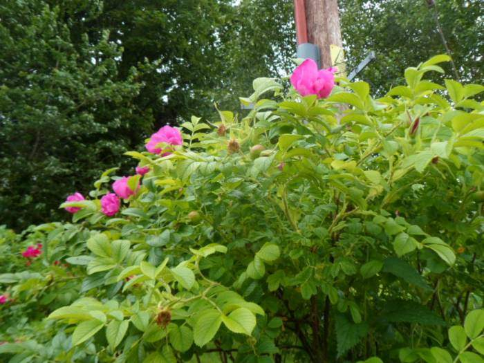 We return to Guiting Power where the roses smell sweet