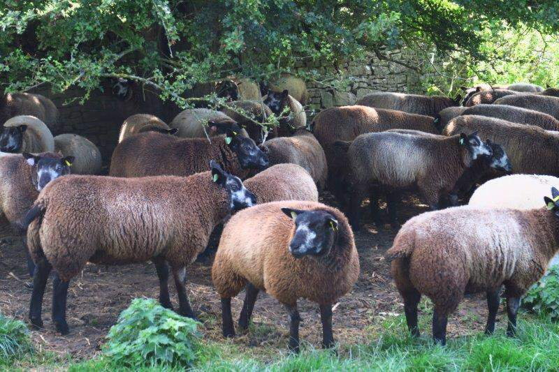 Some ewes looking for shade