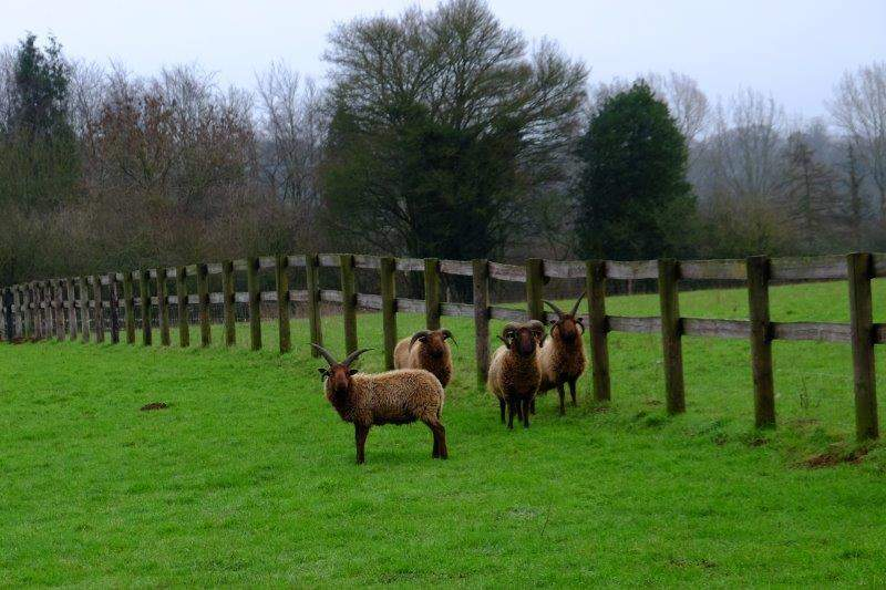 Encountering some strange sheep - Manx Loaghtans, a primitive breed