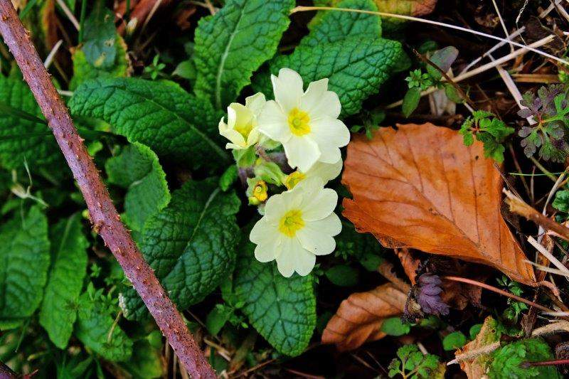 Primroses starting to appear