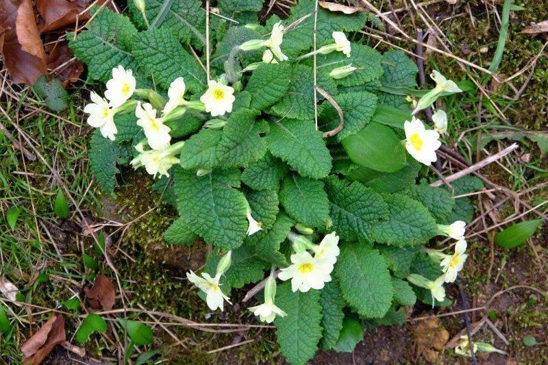 Primroses growing in the banks