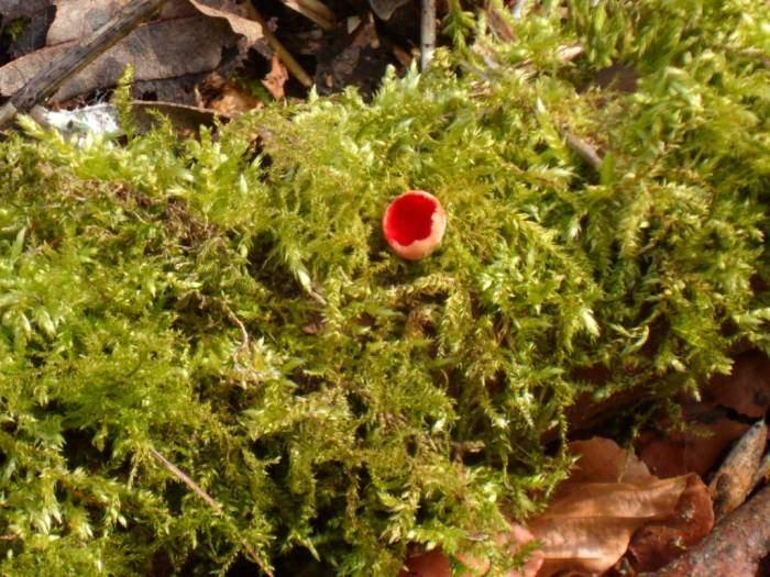 Scarlet elf cup fungus, I'm told