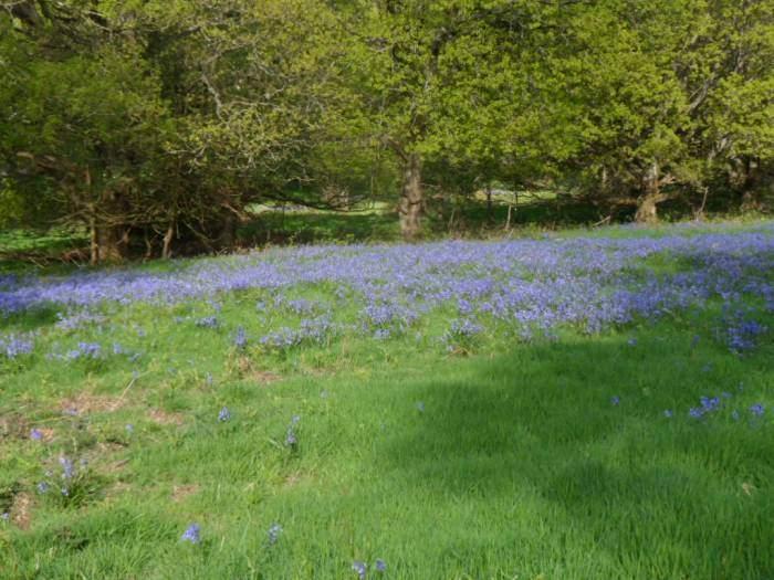 We pass through fields of bluebells