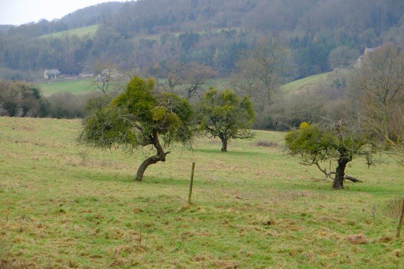 Mistletoe flourishing in the apple trees