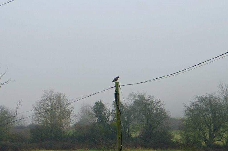 A buzzard on a telegraph pole