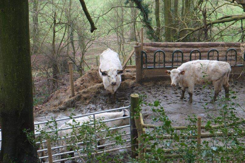And some muddy cattle