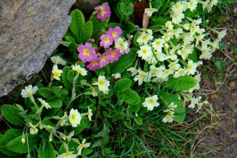 Primroses out in force