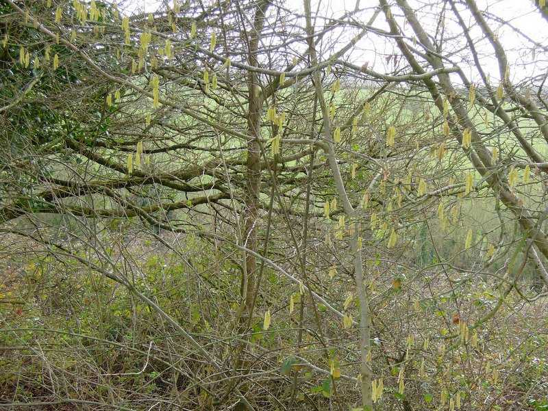 Spring is in the air with catkins showing