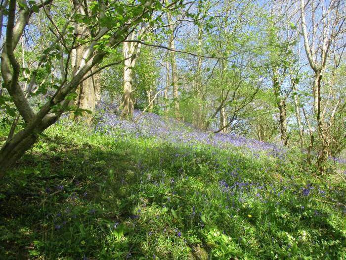 Amazing banks of bluebells