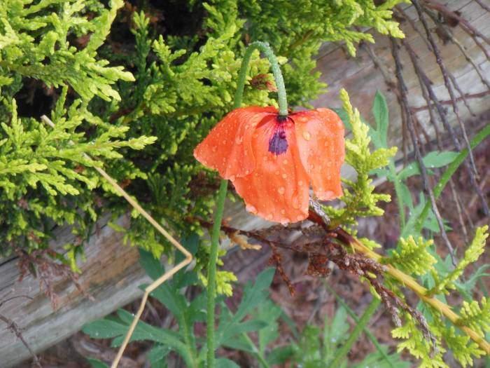 A red poppy