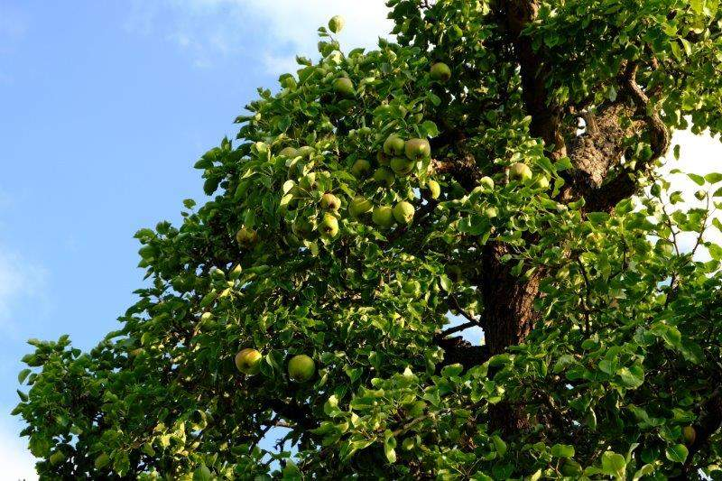 Pears ripening nicely