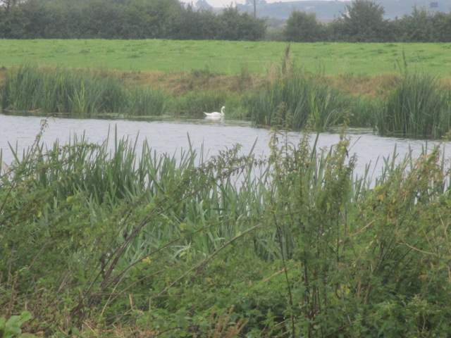 The swan doesn't seem too bothered about the rain