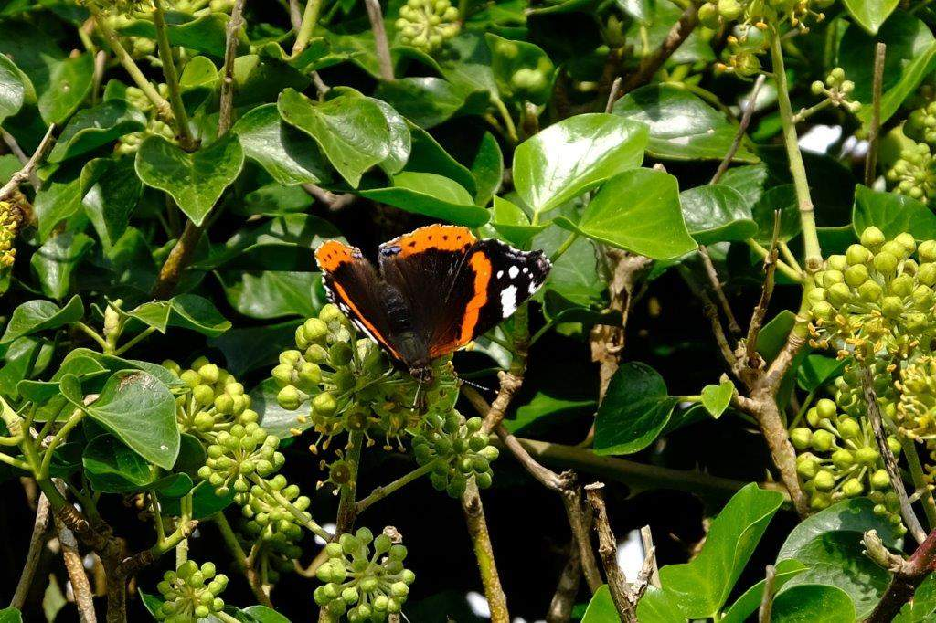 Bushes swarming with red admiral butterflies