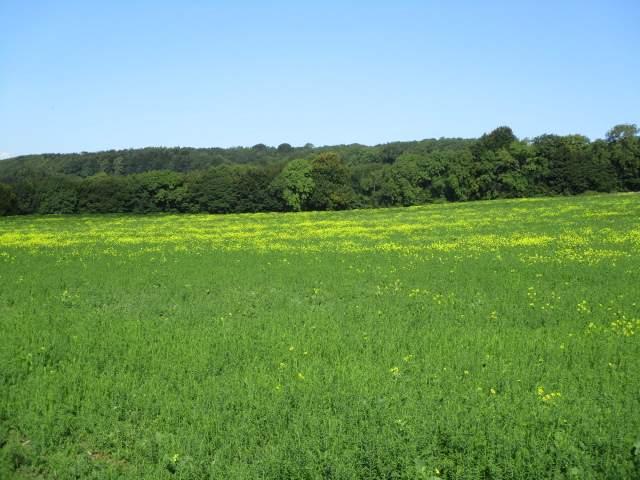 A mustard-type crop